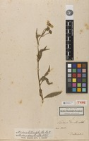 Holotype of Bidens decolorata Kunth [family ASTERACEAE]