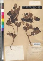 Type of Allophylus africanus Beauv. [family SAPINDACEAE]