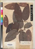 Type of Xylopia lamarckii Baill. [family ANNONACEAE]
