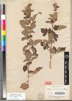 Holotype of Rubus quartinianus A. Rich. [family ROSACEAE]