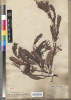 Isotype of Acacia xiphocarpa Benth. [family FABACEAE-MIMOSOIDEAE]