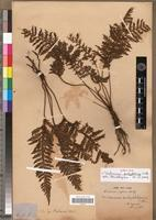Isotype of Trichomanes pachyphlebium C. Chr. [family PTERIDOPHYTA]