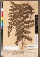 Holotype of Polystichum coursii Tardieu [family PTERIDOPHYTA]