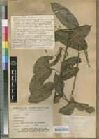Type of Canarium whitei Guillaumin [family BURSERACEAE]