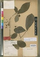 Holotype of Excoecaria guineensis (Benth.) Müll. Arg. var. comoensis Beille [family EUPHORBIACEAE]