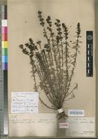 Isolectotype of Sopubia similis Skan [family SCROPHULARIACEAE]