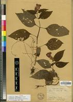 Holotype of Gloxinia stolonifera Fritsch [family GESNERIACEAE]