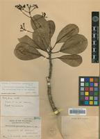 Isotype of Tetractomia pachyphylla Merr. [family RUTACEAE]