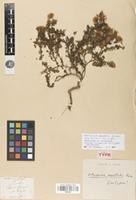 Lectotype of Vittadinia australis Hook.f. [family ASTERACEAE]