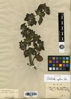 Isotype of Strobilanthes wightiana Nees [family ACANTHACEAE]