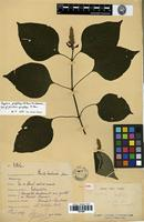 Type of Justicia geoffrayi R. Ben. [family ACANTHACEAE]