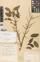 Isotype of Lecythis davisii Sandwith [family LECYTHIDACEAE]