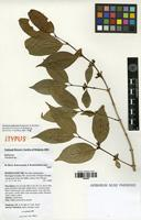 Isotype of Tricalysia ambrensis Randriamb. & De Block [family RUBIACEAE]