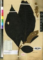 Holotype of Miconia tomentosa (Rich.) D. Don. [family MELASTOMATACEAE]