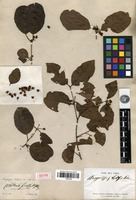 Isotype of Anogeissus latifolia Wall. [family COMBRETACEAE]