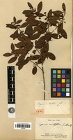 Isotype of Eugenia multiflora Lam. var. lutescens Cambess. [family MYRTACEAE]