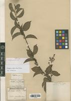 Isotype of Anchietea pyrifolia (Mart.) G.Don [family VIOLACEAE]