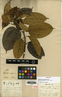 Holotype of Graffenrieda ovalifolia Naudin [family MELASTOMATACEAE]