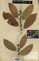 Isotype of Quararibea cacao (Triana & Planch.) Baill. [family BOMBACACEAE]