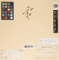 Isotype of Oxalis repens A.St.-Hil. [family OXALIDACEAE]