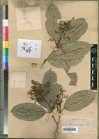 Type of Vepris parvicalyx H.Perrier [family RUTACEAE]