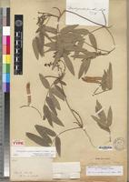 Holotype of Paraglycine madagascariensis F.J.Herm. [family FABACEAE-PAPILIONOIDEAE]