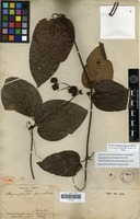 Holotype of Stigmaphyllon ipomoeoides Triana & Planch. [family MALPIGHIACEAE]