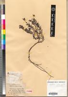 Holotype of Helianthemum maritimum Pomel [family CISTACEAE]