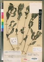 Holotype of Pericalypta biflora Benoist [family ACANTHACEAE]