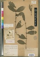Holotype of Coffea lamblini A.Chev. [family RUBIACEAE]