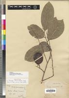 Holotype of Irvingia tenuinucleata Tiegh. [family IRVINGIACEAE]