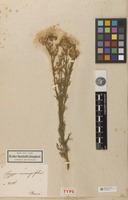 Holotype of Conyza coronopifolia Kunth [family ASTERACEAE]