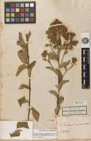 Holotype of Baccharis micrantha Kunth [family ASTERACEAE]
