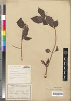 Isotype of Impatiens raphidothrix Warb. [family BALSAMINACEAE]