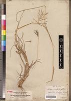 Type of Andropogon insculptus A.Rich. [family POACEAE]