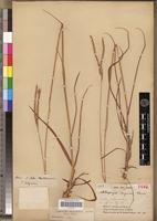 Holotype of Andropogon congoensis Franch. [family POACEAE]