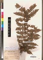 Isotype of Polystichum coursii Tardieu [family PTERIDOPHYTA]