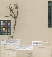 Isotype of Isochilus dubius A.Rich. & Galeotti [family ORCHIDACEAE]