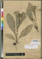 Isolectotype of Saussurea nobilis Franch. [family ASTERACEAE]