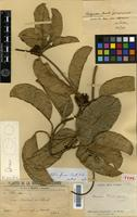 Type of Artia francii (Guillaumin) Pichon [family APOCYNACEAE]
