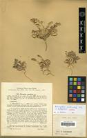 Isolectotype of Astragalus stalinskyi Sirj. [family FABACEAE-PAPILIONOIDEAE]