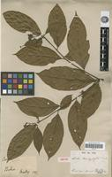 Isotype of Cordia trachyphylla Mart. [family BORAGINACEAE]