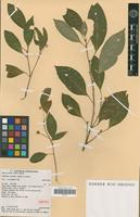 Isotype of Fontainea australis Jessup & Guymer [family EUPHORBIACEAE]