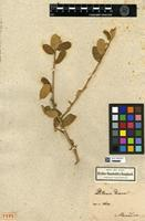 Holotype of Ditaxis dioeca Kunth [family EUPHORBIACEAE]