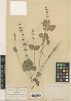 Isotype of Salvia tehuacana Fernald [family LAMIACEAE]