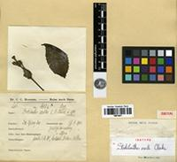 Isotype of Strobilanthes erecta Clarke [family ACANTHACEAE]