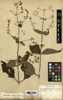 Filed as Isodon lophanthoides (Buch.-Ham. ex D.Don) H.Hara [family LAMIACEAE]