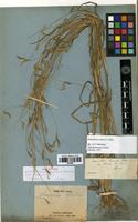 Holotype of Eremochloa leersioides (Munro) Hack. var. thorelii A. Camus [family POACEAE]