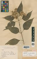 Type of Eupatorium cremastum B.L. Rob. [family ASTERACEAE]
