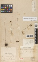 Holotype of drosera hirtella A.St.-Hil. var. lutescens A.St.-Hil. [family DROSERACEAE]